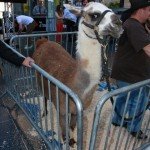 The Real Star Of Napolean Dynamite... Tina The Llama.  Don't Get Too Close.  She WILL Spit On You